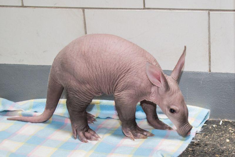 Aardvark Kaatie (4) by Tom Roy