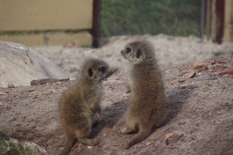 3 meerkat