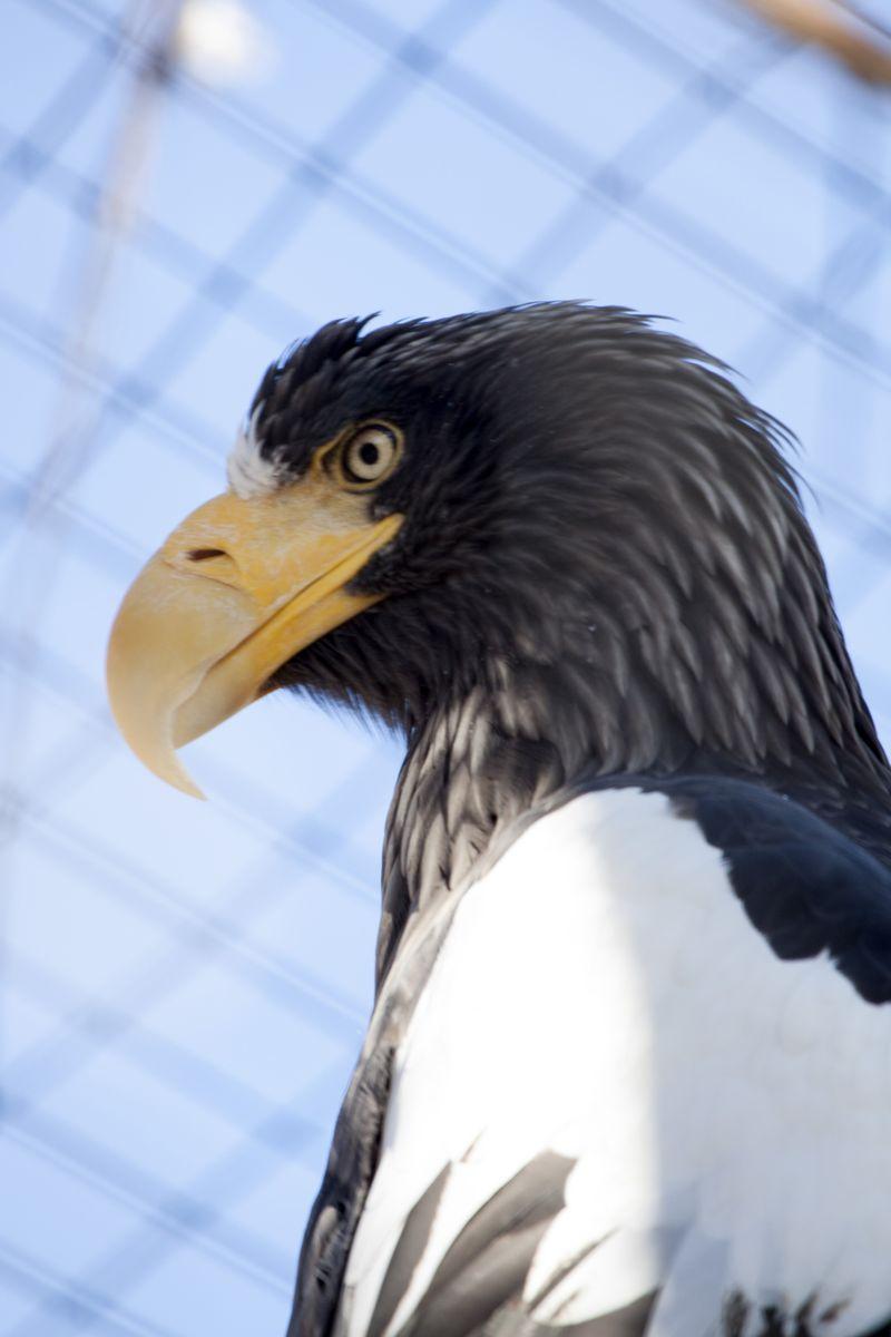 Stellers_sea_eagle_chick04