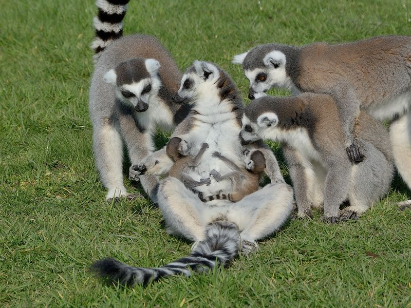 Ring tailed lemur mum Hasina with her twins at Longleat