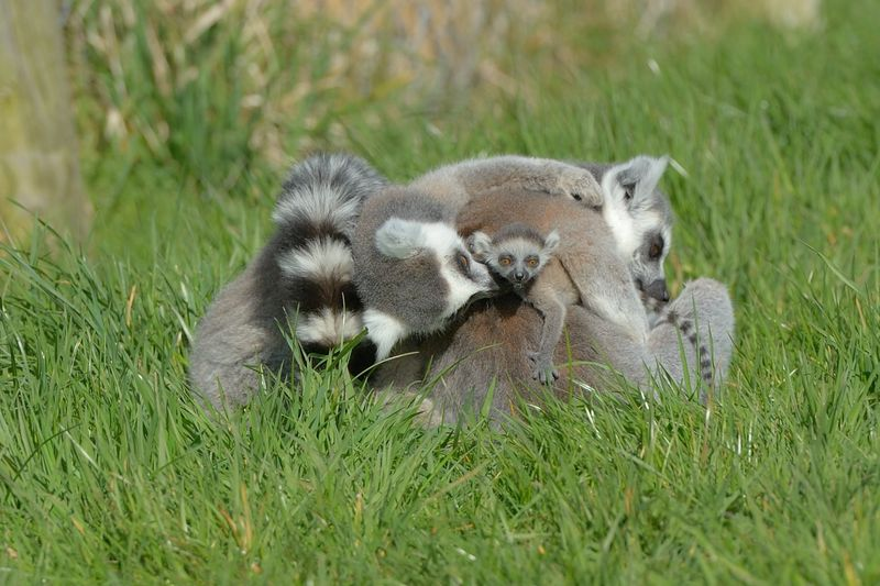 Baby ring tailed lemur at Longleat
