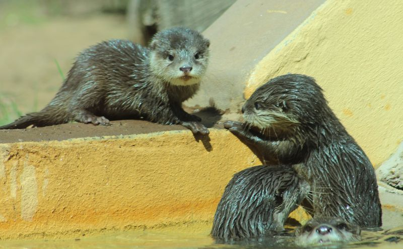 Otter family_MQ_9.4.14