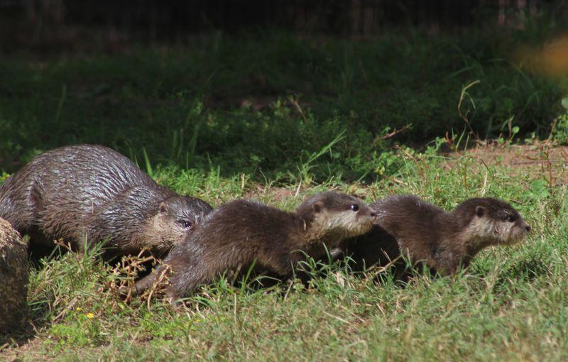 Otter pups_MQ_9.4.14
