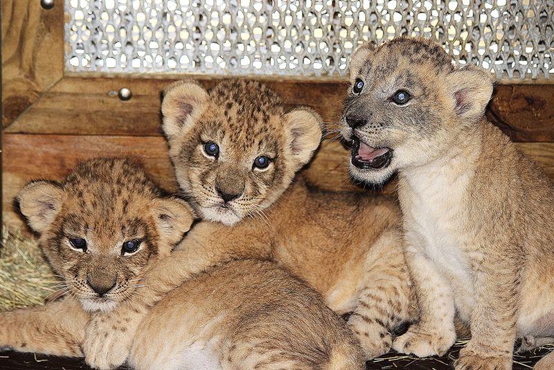 Kashifa cubs 5 IB
