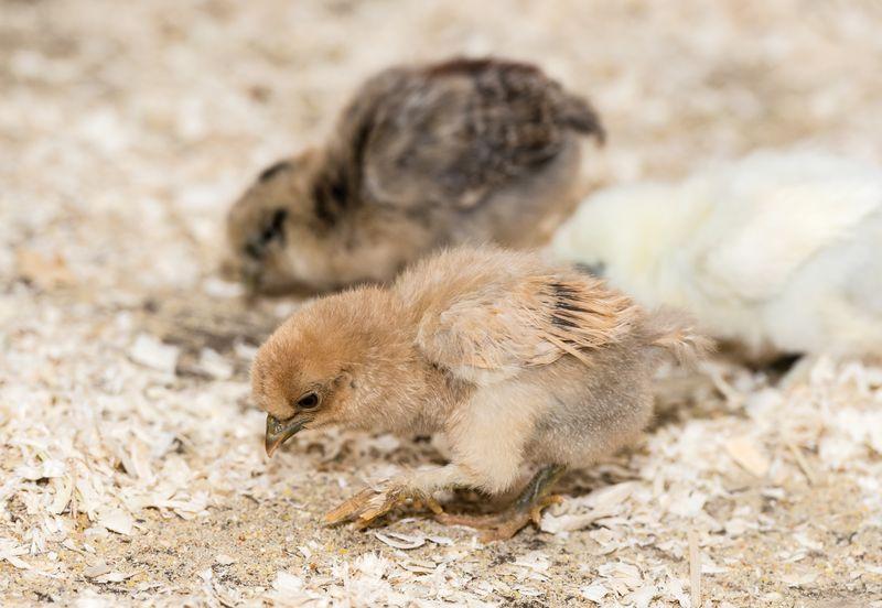 5 chicks