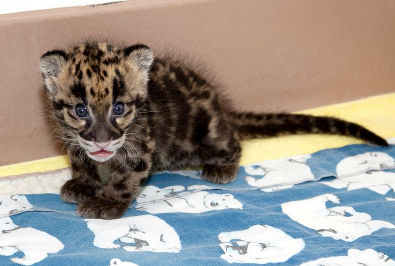 Clouded_leopard_cubs_on_exhbit04