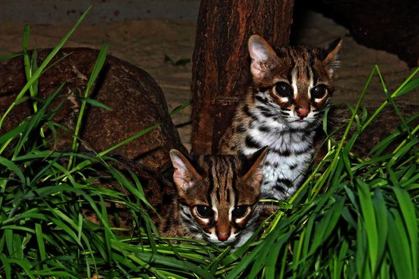 32ba79a2a Palawan Bengal Cats Are First of Berlin Zoo s Breeding Program - ZooBorns