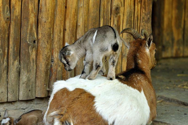 2 goat