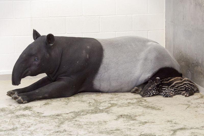 5 tapir