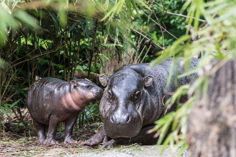 2 hippo