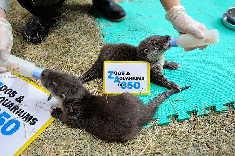 Baby Eurosian Otter