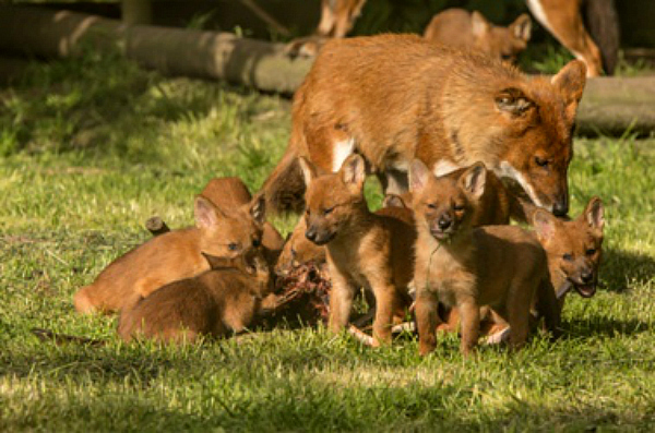 12 Playful Dhole Pups At Howletts Wild Animal Park