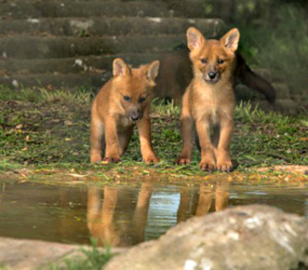 Two Puppies Take a Drink at Howletts Wild Animal Park c Dave Rolfe resize