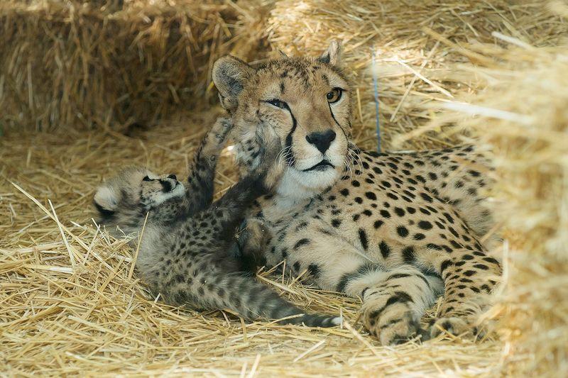 Gepard_06_TGS_Zupanc