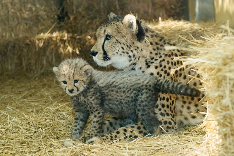 Gepard_16_TGS_Zupanc