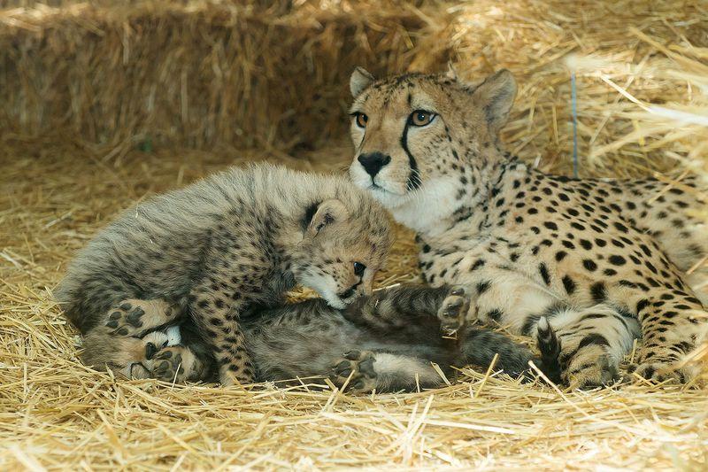 Gepard_10_TGS_Zupanc