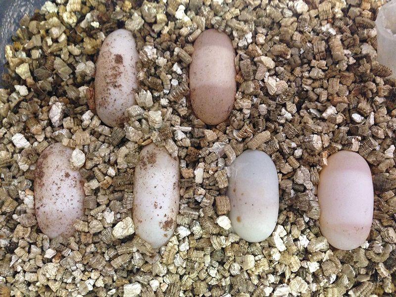 WST-Eggs