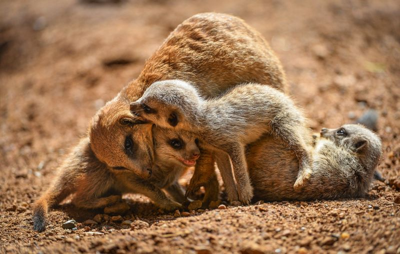 Meerkats-15