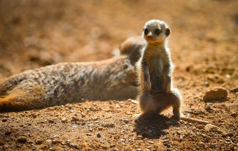Meerkats-17