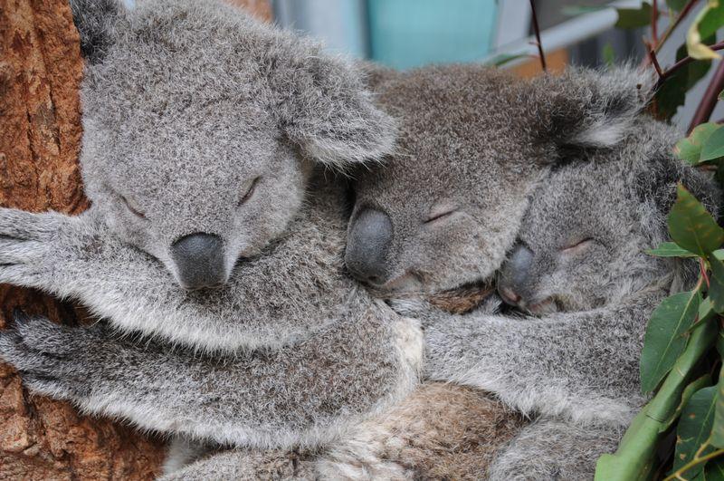 Three Joeys (1)_Credit Ellen Wilson, Taronga Zoo