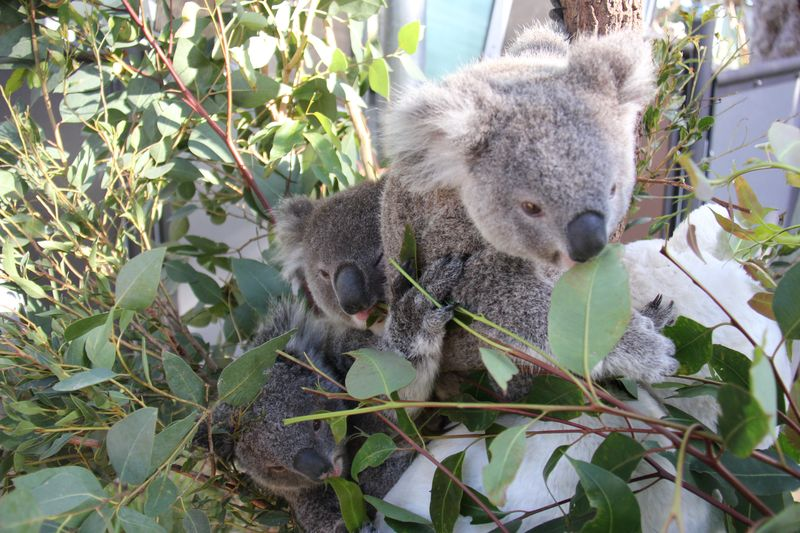 Koala Joeys 2_Paul Fahy