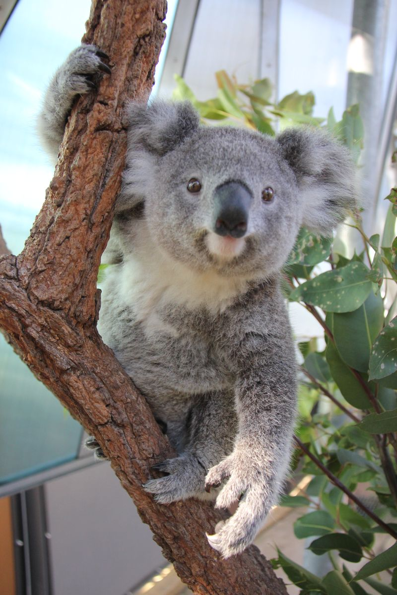 Koala Joeys 4_Paul Fahy