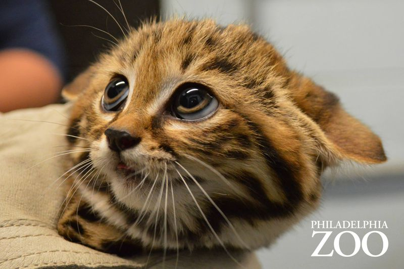 Philly Zoo S First Ever Black Footed Cat Kittens Are