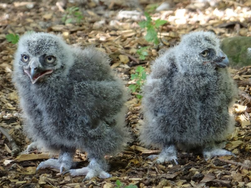 Snowy-owl-chicks
