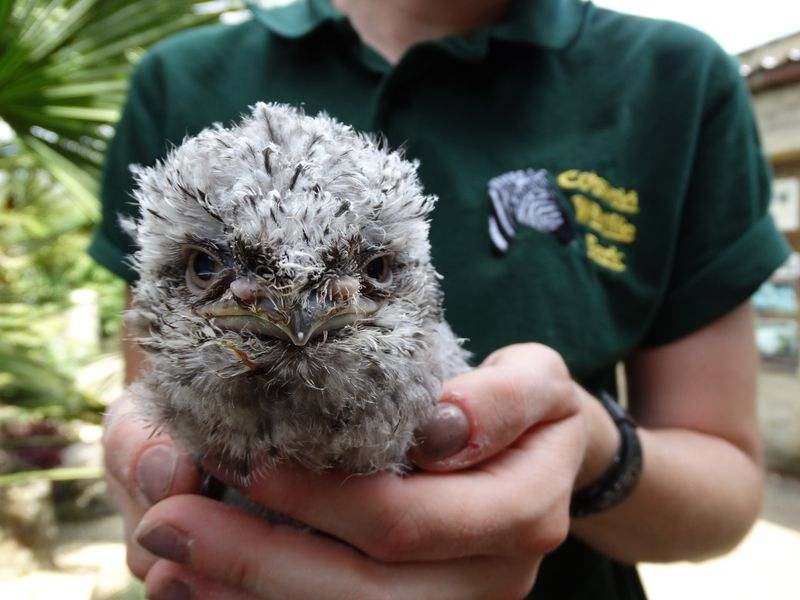 DR-Frogmouth-chick-in-Jade's-hands-7