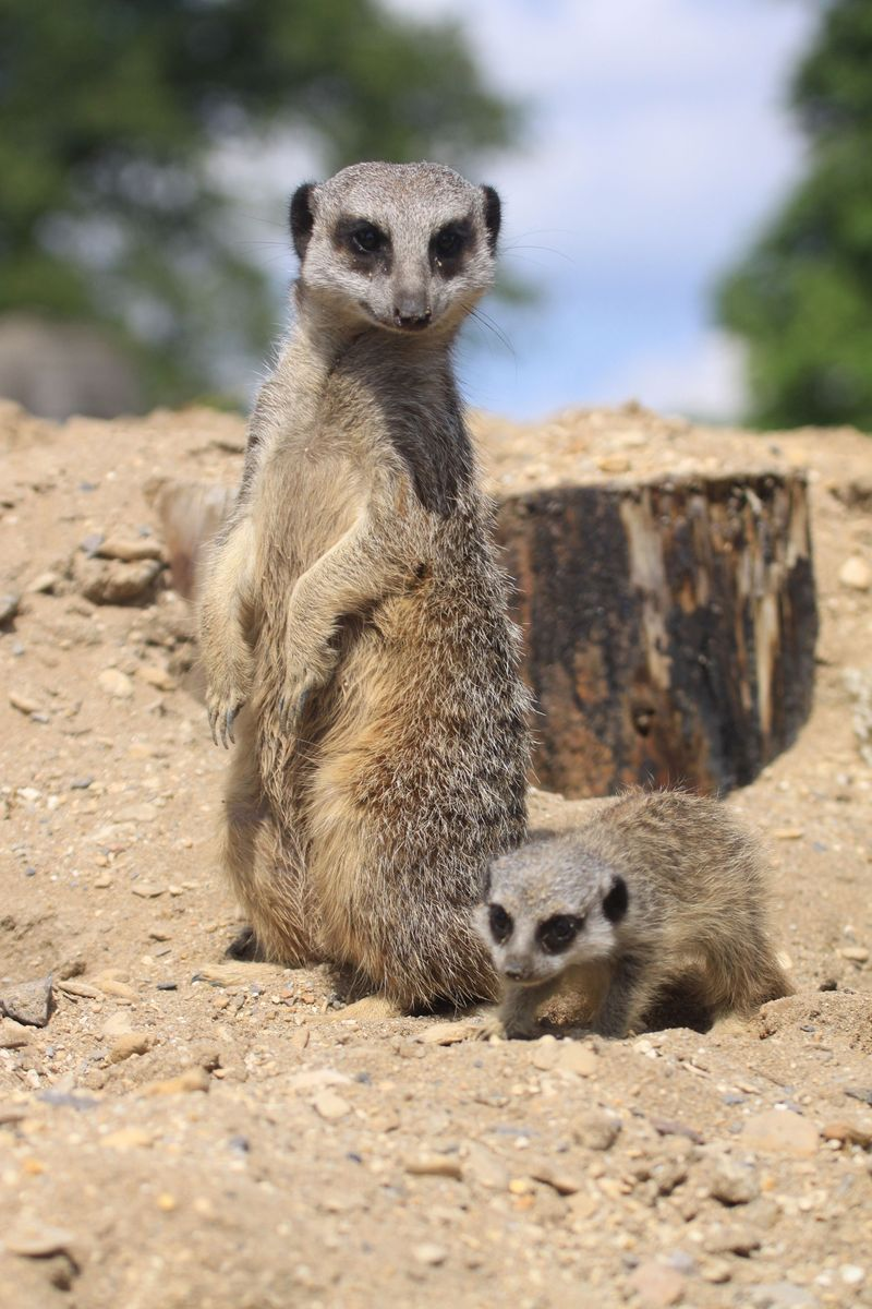 Baby meerkat and adult at Longleat Safari and Adventure Park PIC Ian Turner