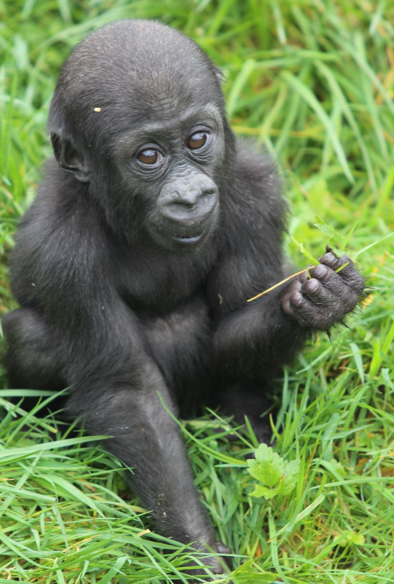 (5)  This is the second arrival at the gorilla house in eight months as Baako, the first baby gorilla to be born at the zoo in 16 years, was born on 3 August 2013.