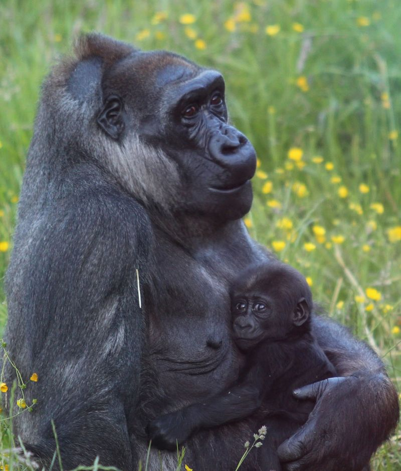 (2)  During the early weeks newborn gorillas cling to the mother's stomach and Kamili was so protective that it was impossible for keepers to find out what gender the infant was.