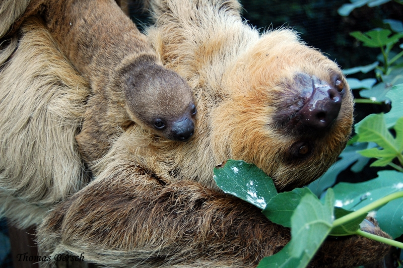 Zoo Heidelberg_sloth_1