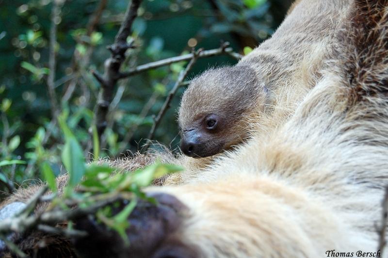 Zoo Heidelberg_sloth_2