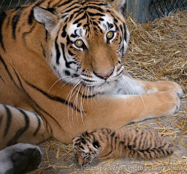 Joey tiger is diminutive and cute
