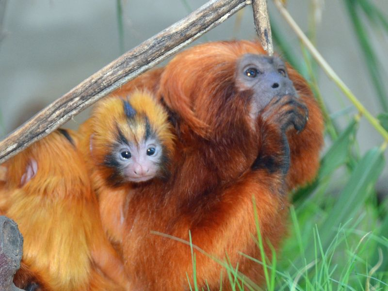 SB Zoo Golden Lion Tamarins family