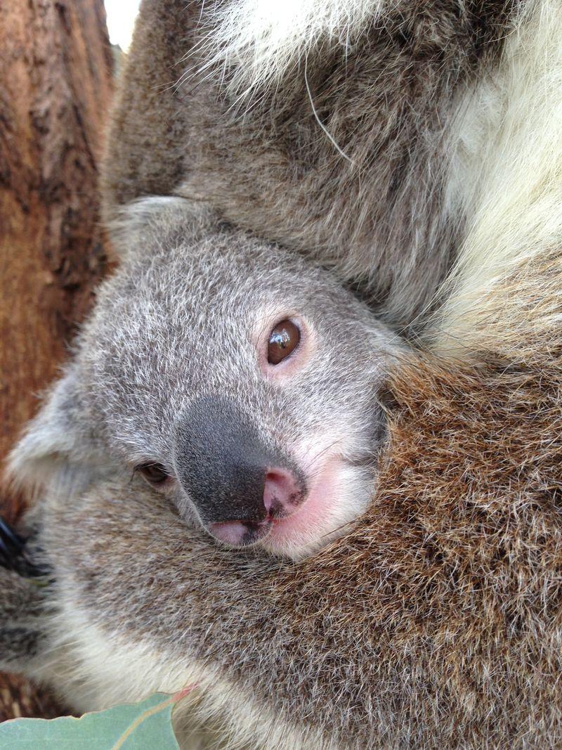 Koala joey_7