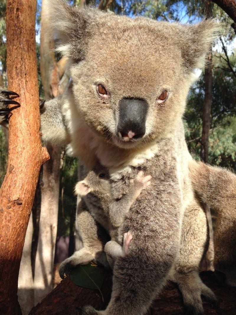 Koala joey_8