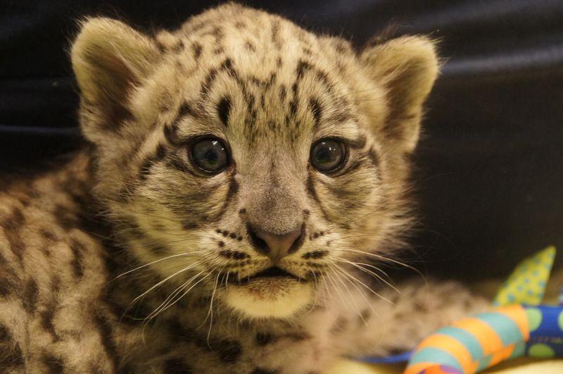 Snow leopard_Milwaukee_3
