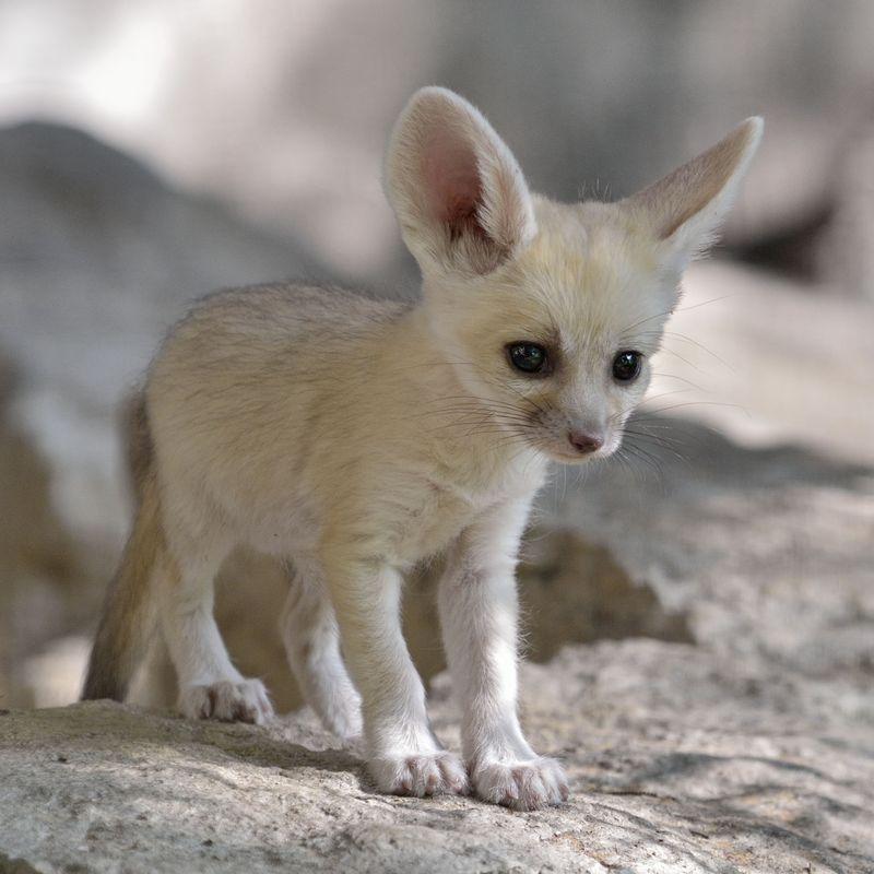 Fennec fox_tel aviv_5