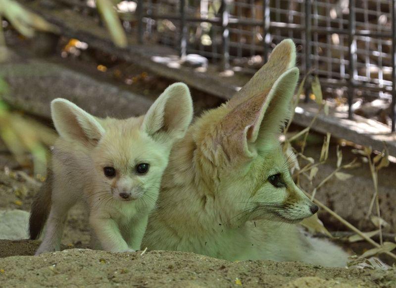 Fennec fox_tel aviv_4