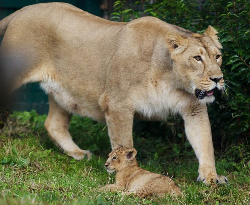 Asian lion cub_Dublin_7
