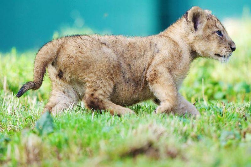 Asian lion cub_Dublin_8