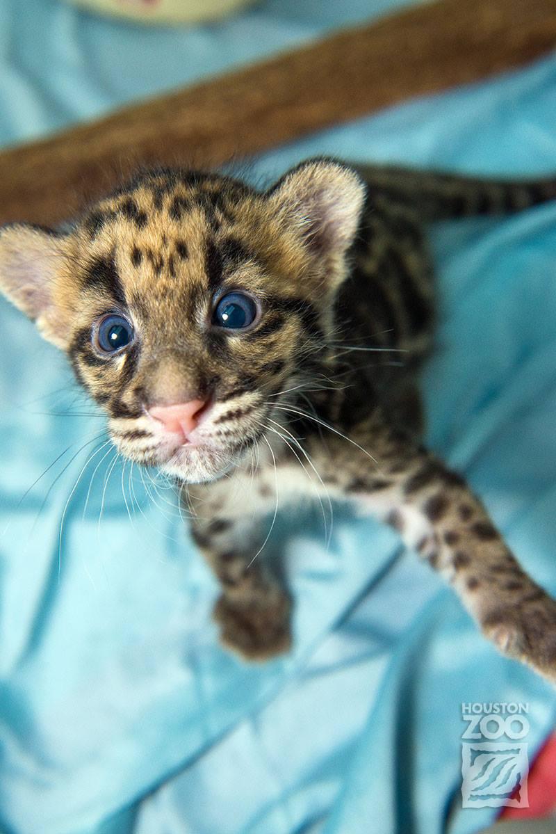 Clouded leopard_7