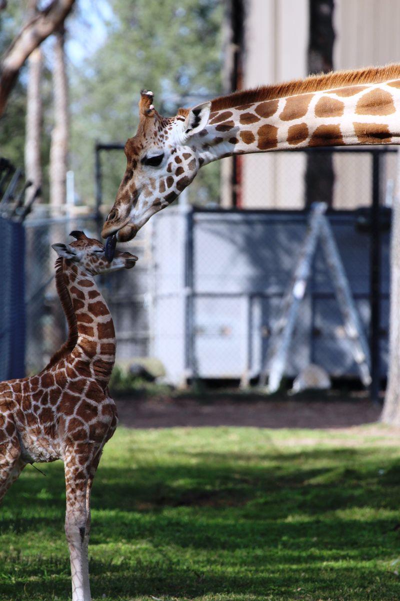 Giraffe calf with mum licking face by MT