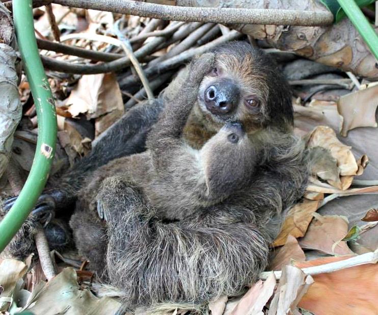 1 sloth