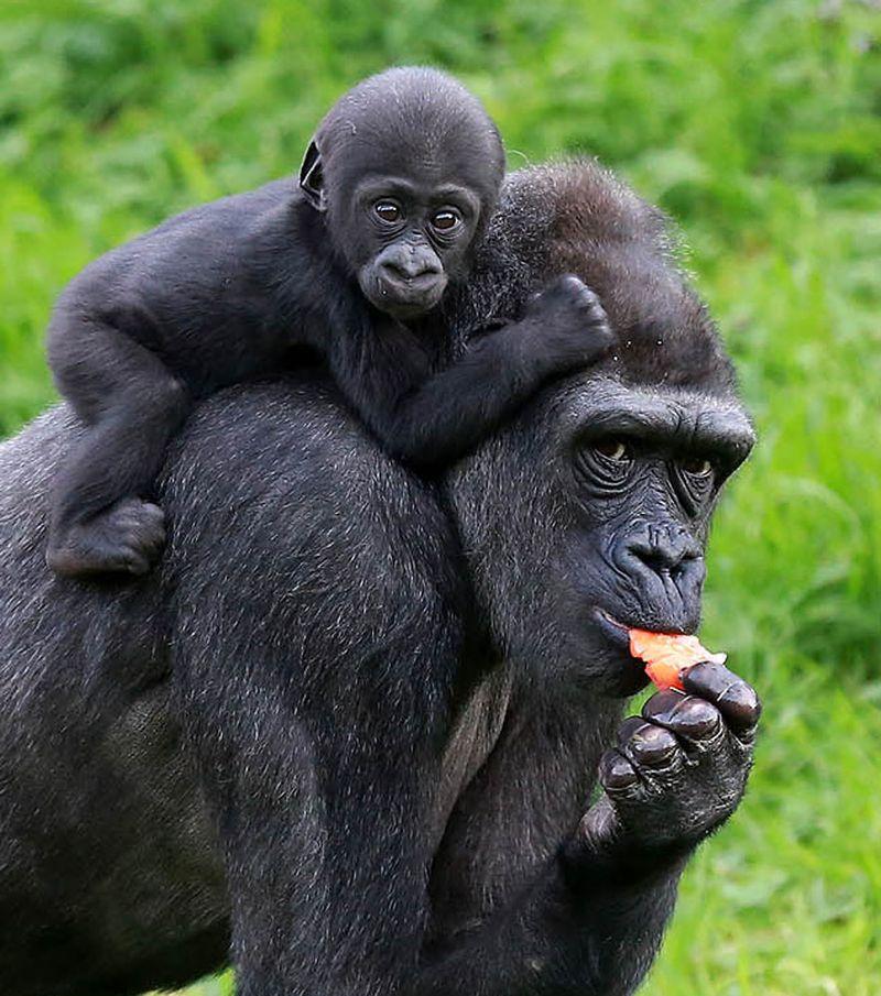 1 gorilla