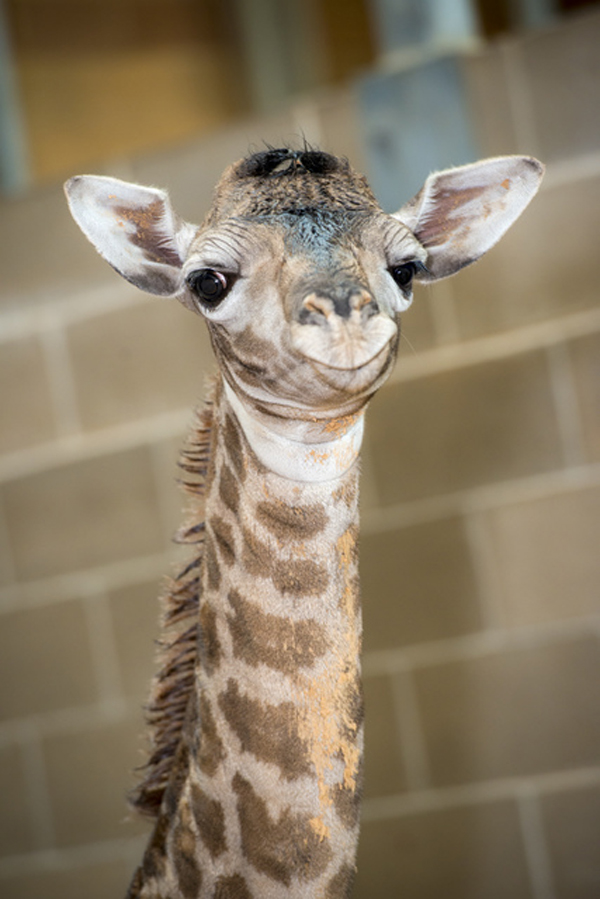 Baby-Giraffe-Houston-Zoo003