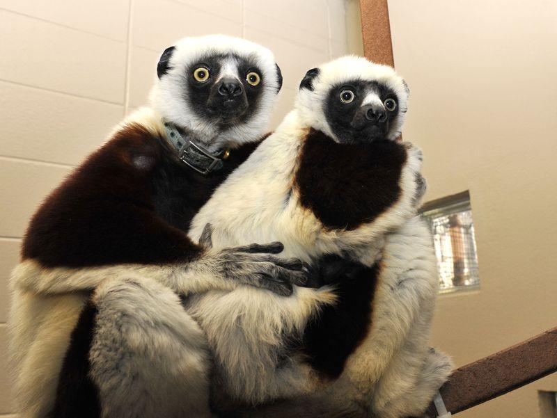 5 lemur moms and babies
