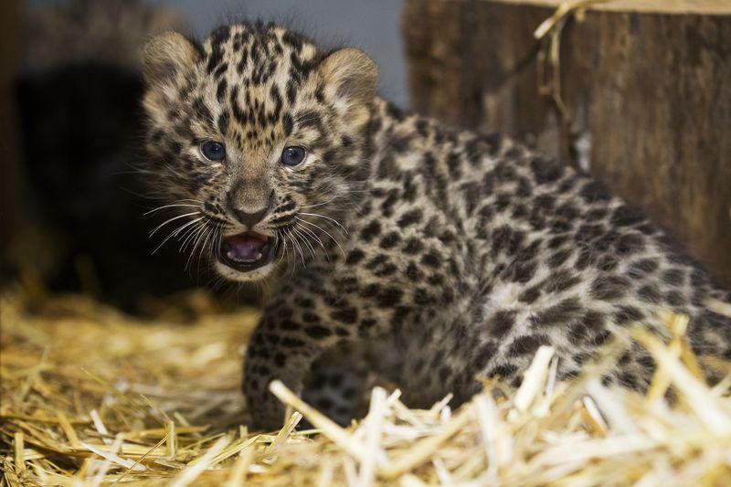 3 leopard